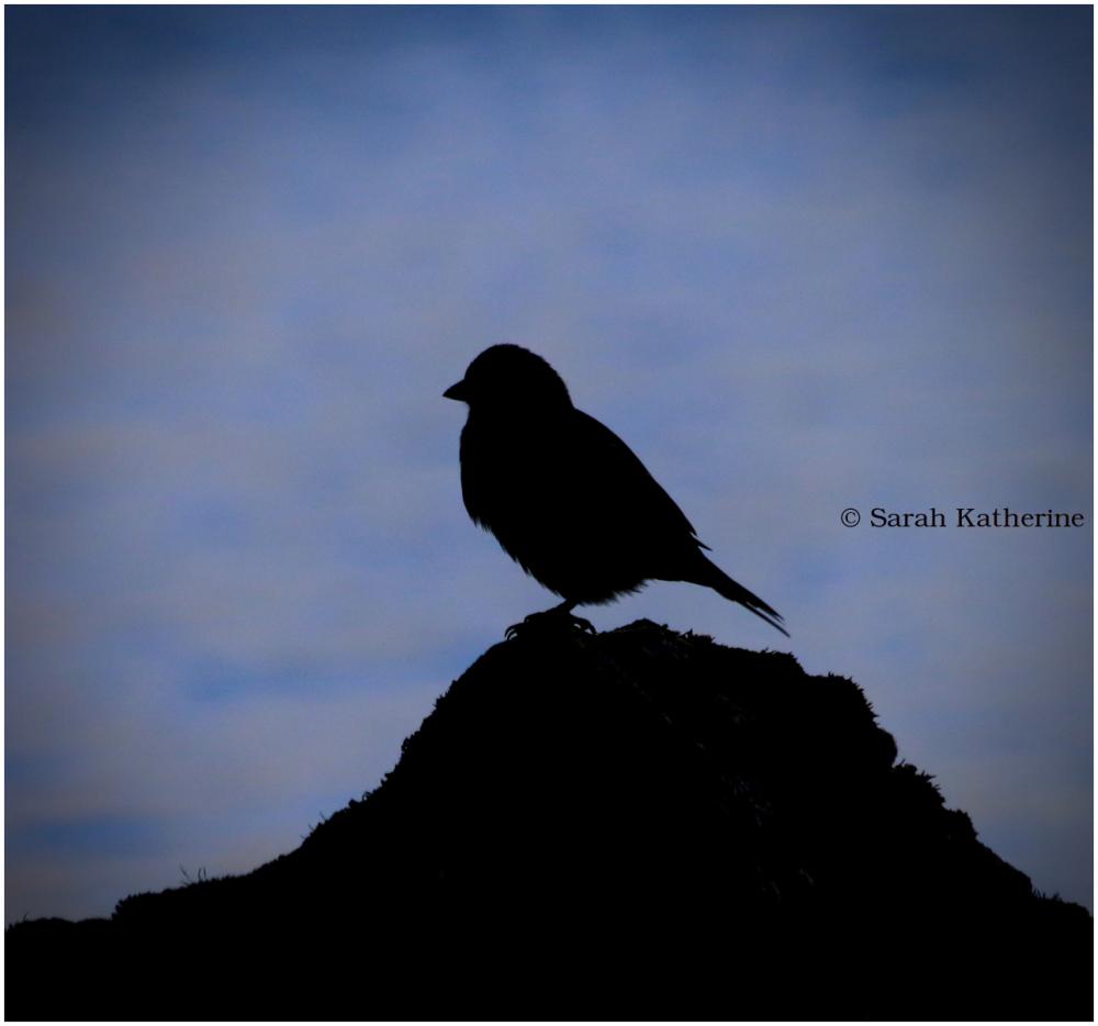 sparrow, rock