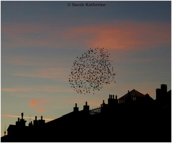 starlings, dusk