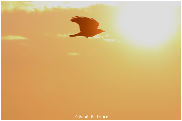 crow, sunset