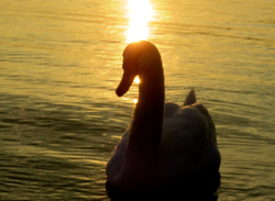 swan, lake, sunlight, sunset