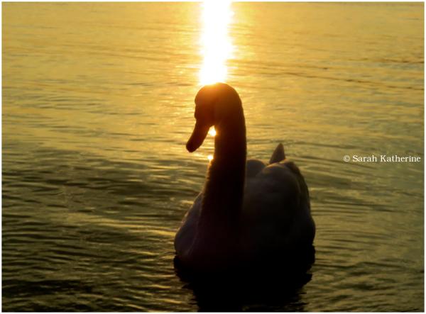 swan, lake, sunlight, sunset