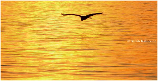 heron, sunset, lake