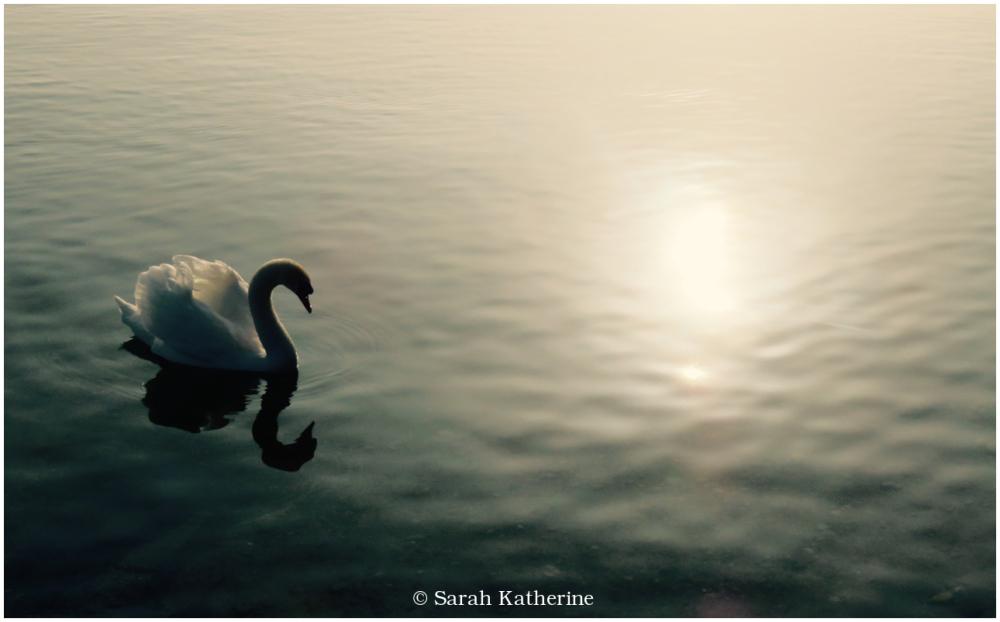 swan, lake, light