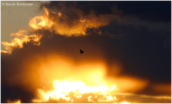 gull, sunset, clouds