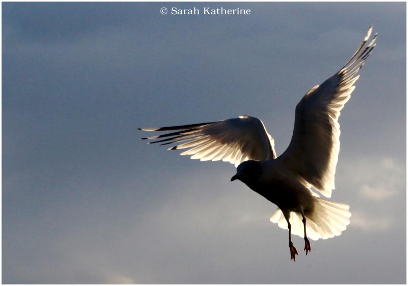 gull, wings, light