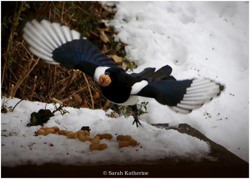 magpie, walnut, winter