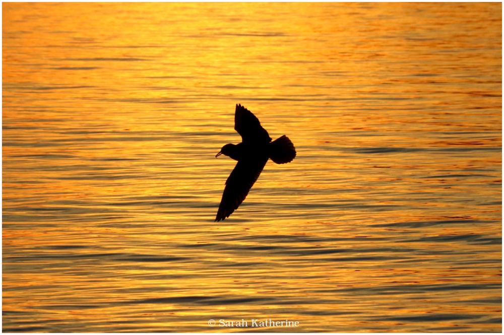 gull, sunset