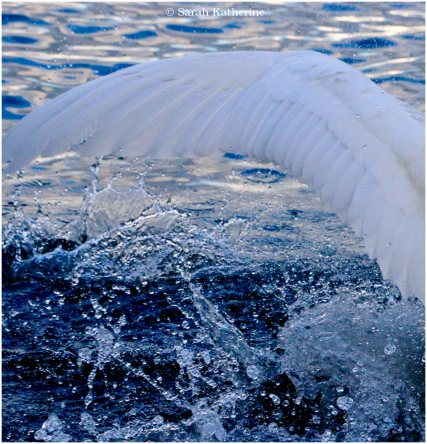 swan, wing, water, lake