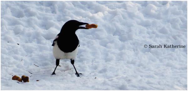 magpie, winter, peanuts