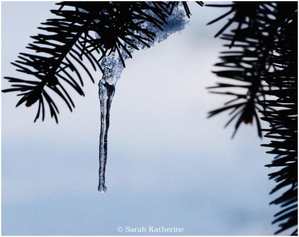 icicle, pine tree