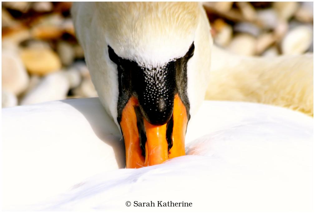 swan, beach