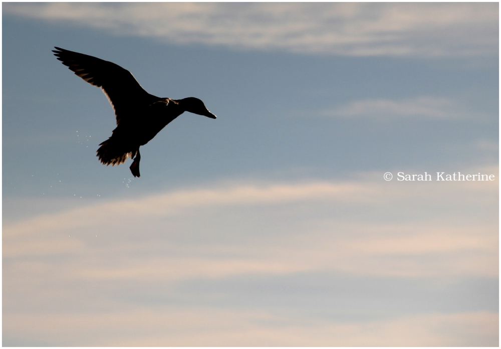 duck, water, sky