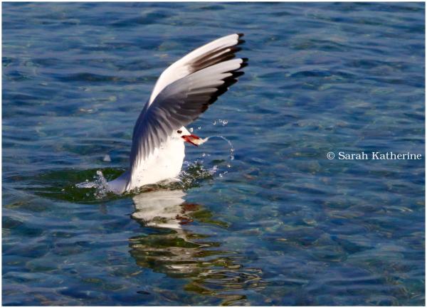 gull, water, lake