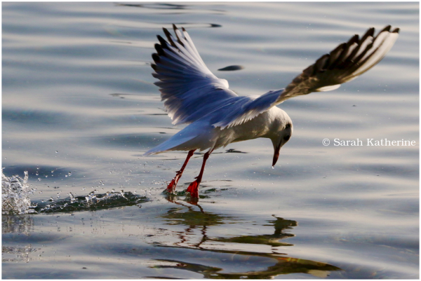 gull, water, bow