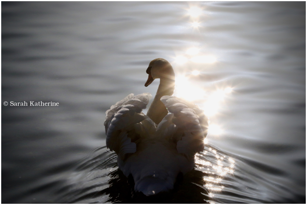 swan, water, lake, light