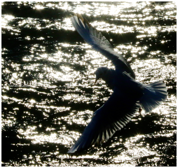 Gull, water, lake, sunlights