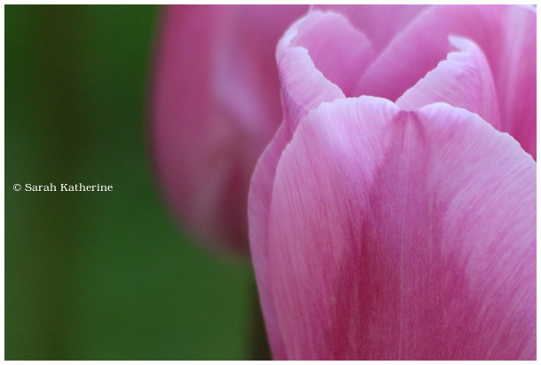 pink, tulip, spring