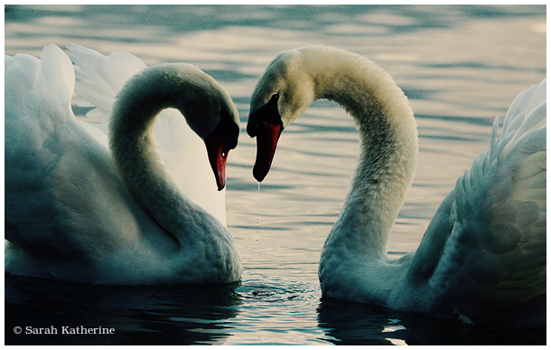 swans, lake, soft