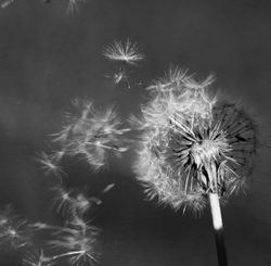 The Last of the Dandelions