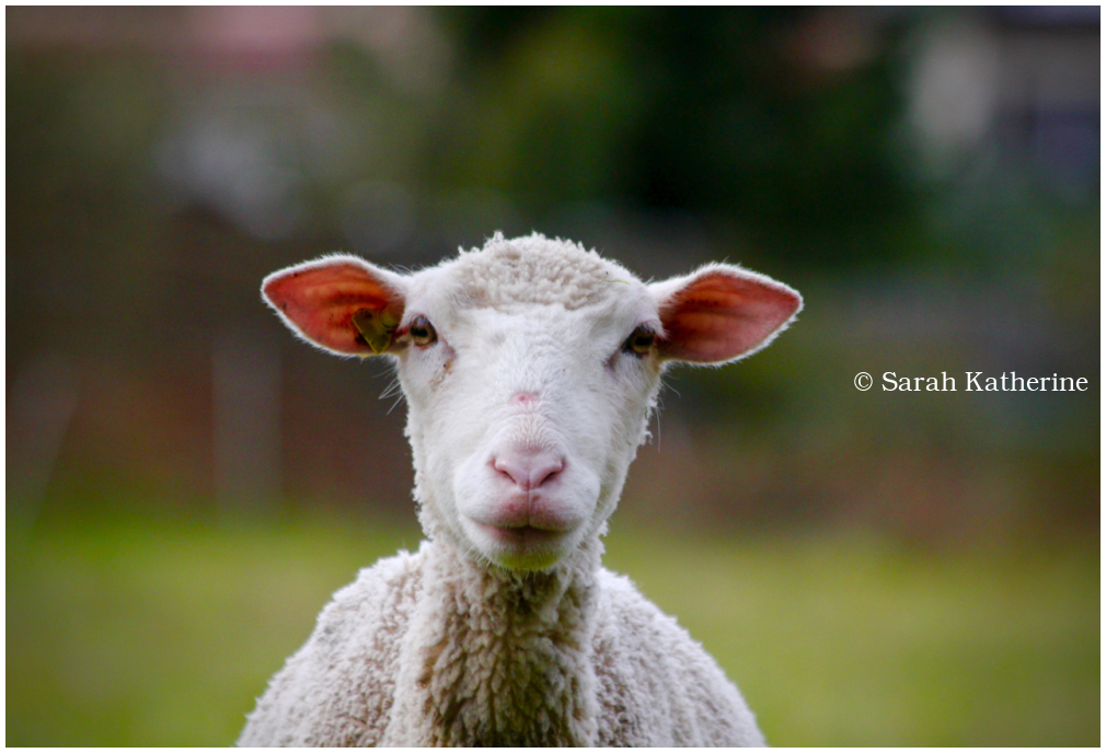 lamb, spring