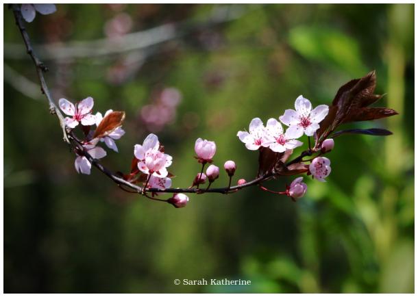 cherry tree spring