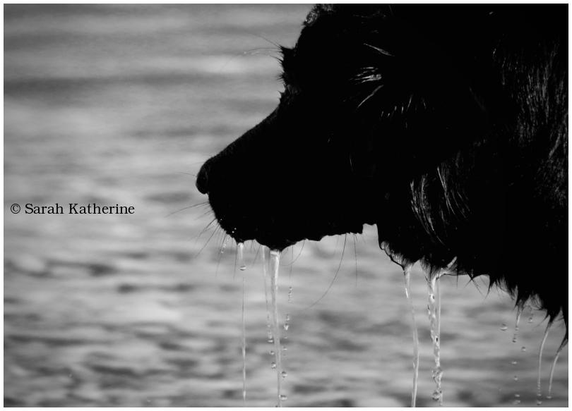 dog, water, lake