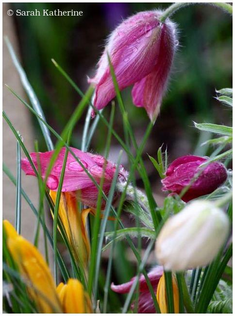 tulips, spring, rain