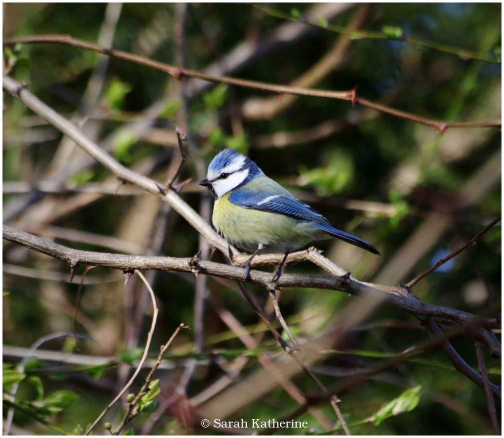 bluetit, spring