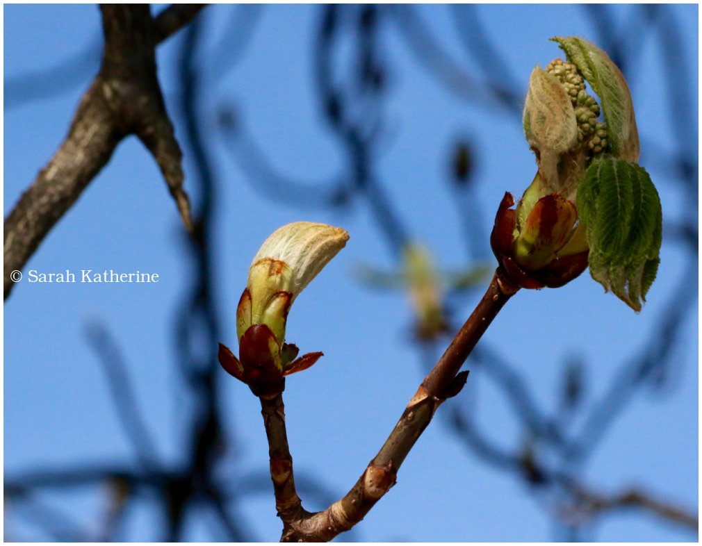 bud, blossom, chestnut tree, spring