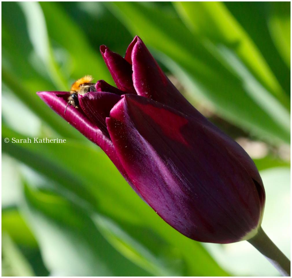 tulip, bee, spring