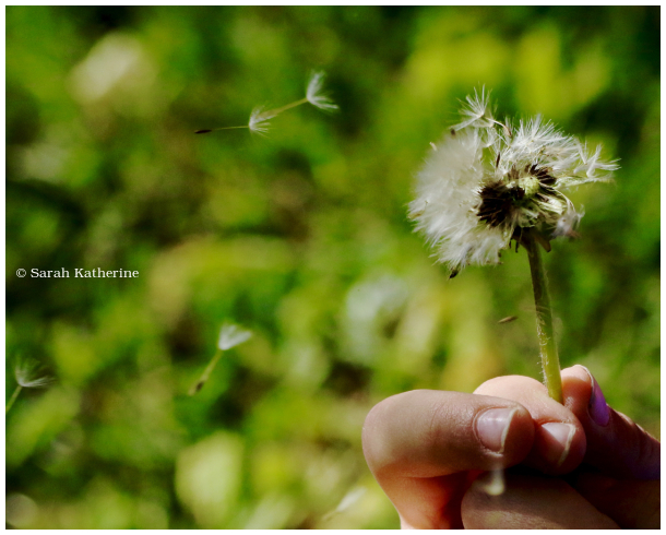 dandelion, wishes, hand