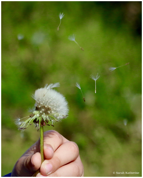dandelion hand, wishes