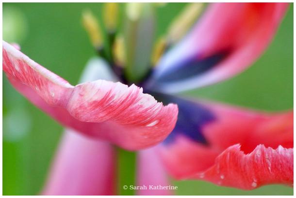 flower, tulip, spring