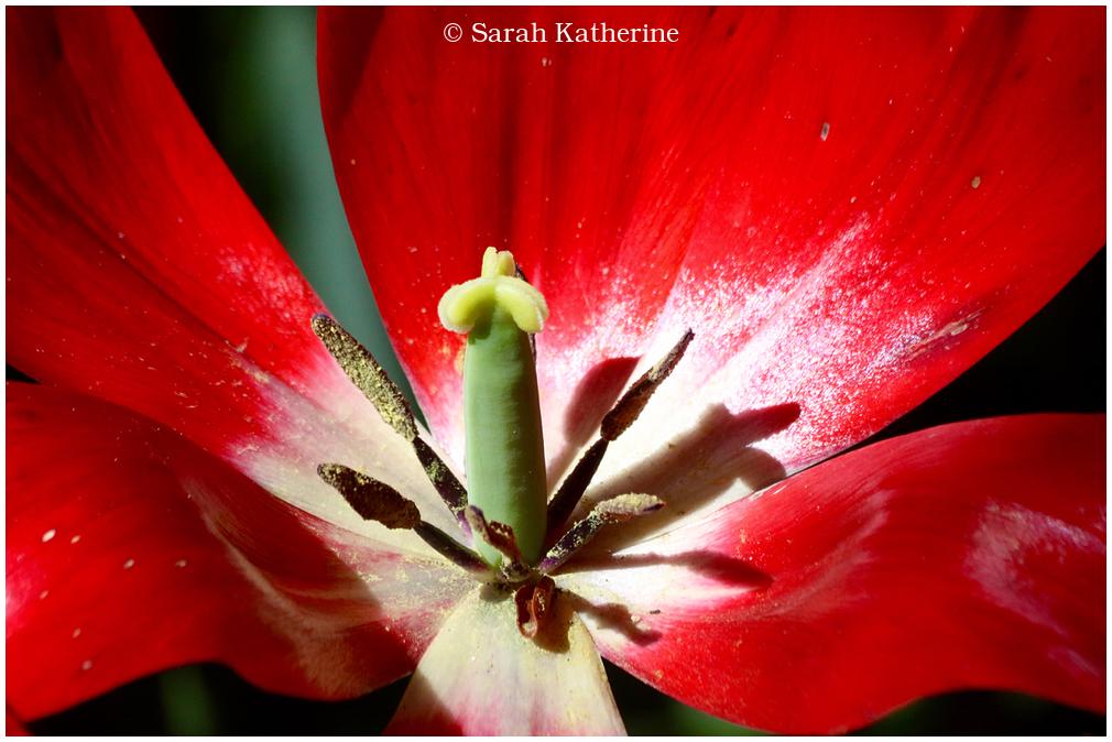 tulip, spring