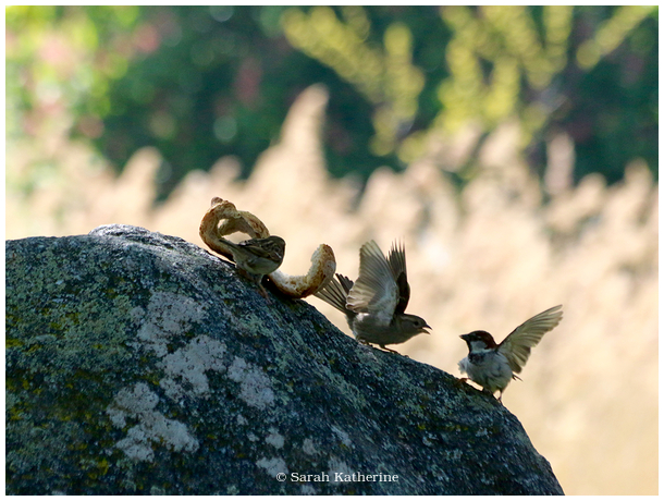 sparrows, rock, bread