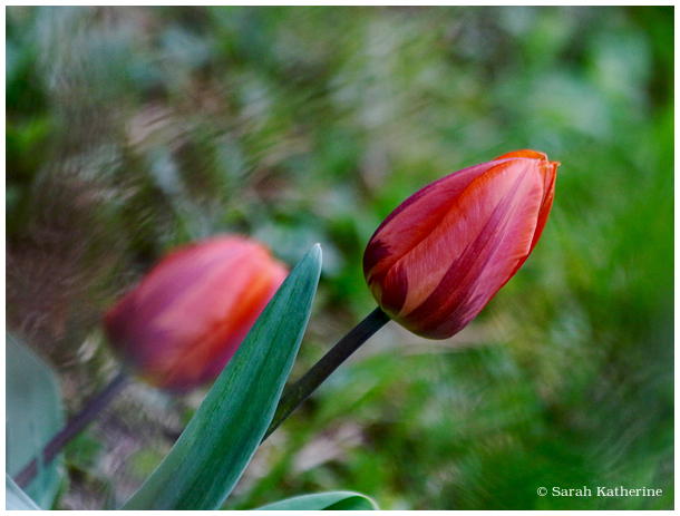 tulips, spring, red