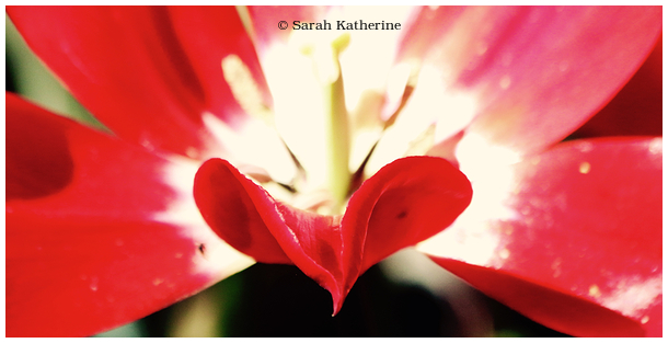 tulip, spring, petal