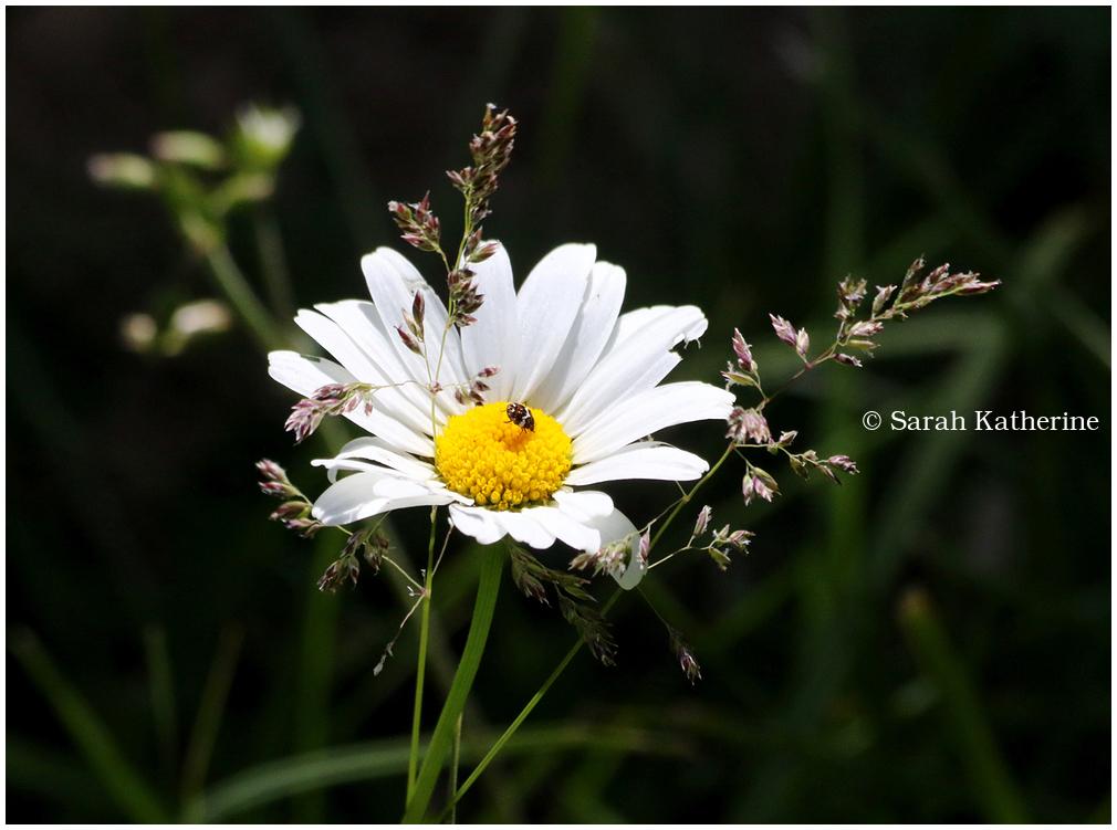 daisy, bug, spring, garden
