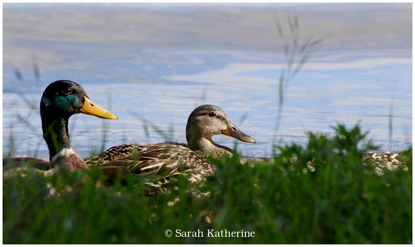 ducks, spring, lake