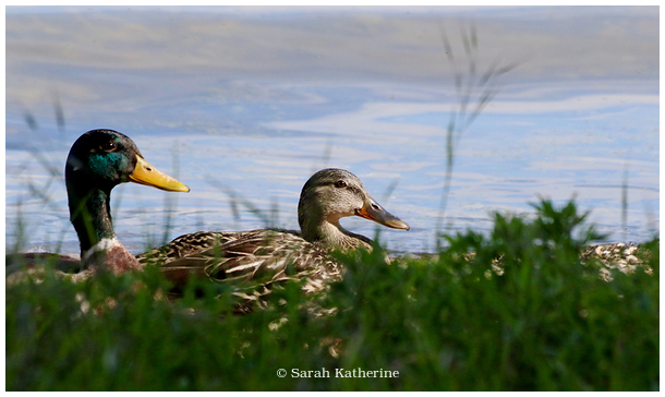 ducks, spring, lake