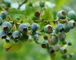 The Budding Blueberries