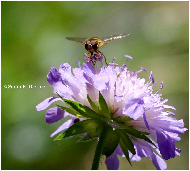 bee big wildflower