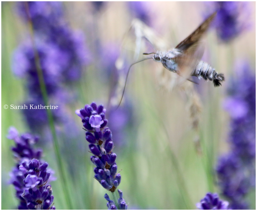 lavender, hawkmoth