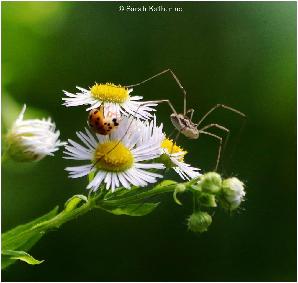 ladybug, spider