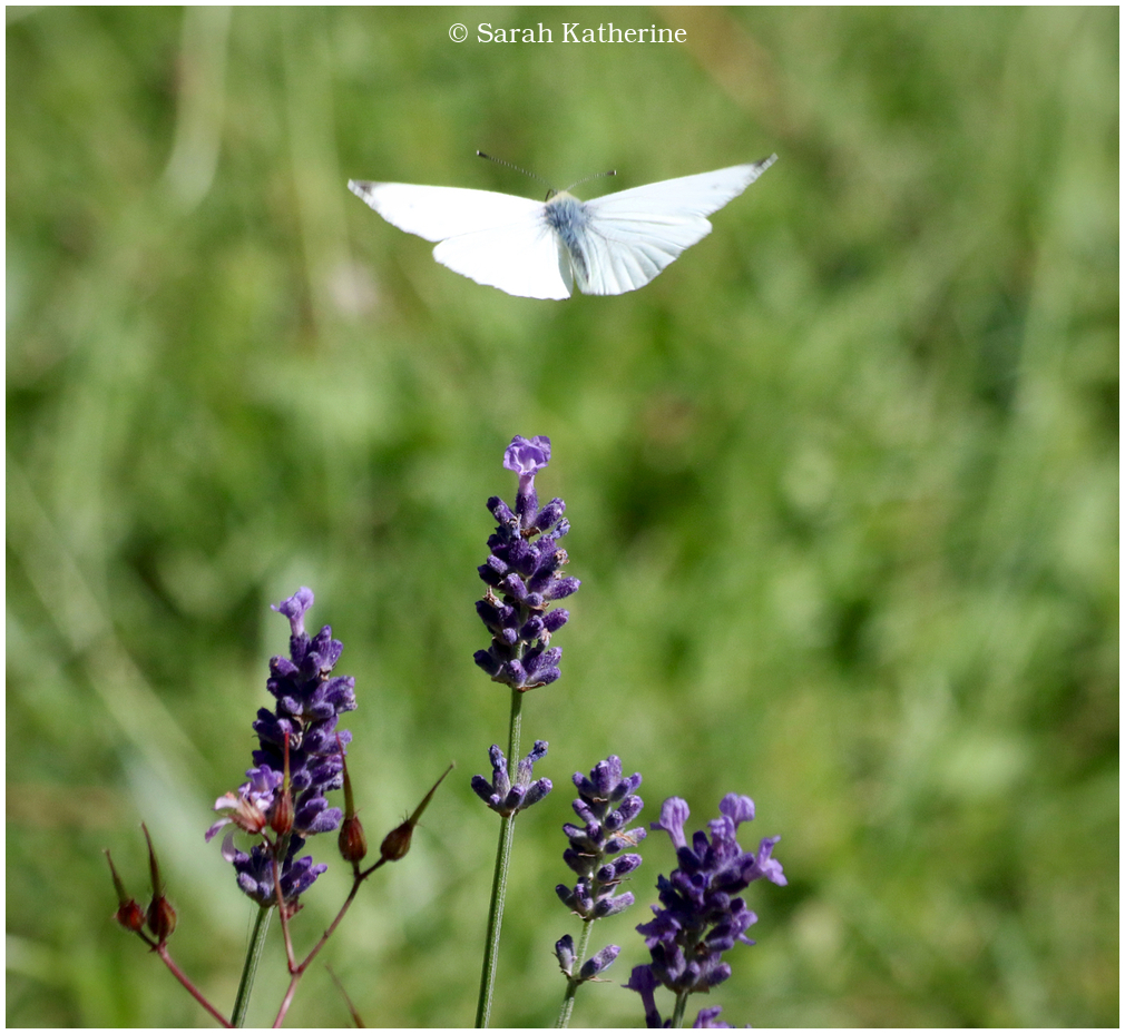 butterfly lavender summer