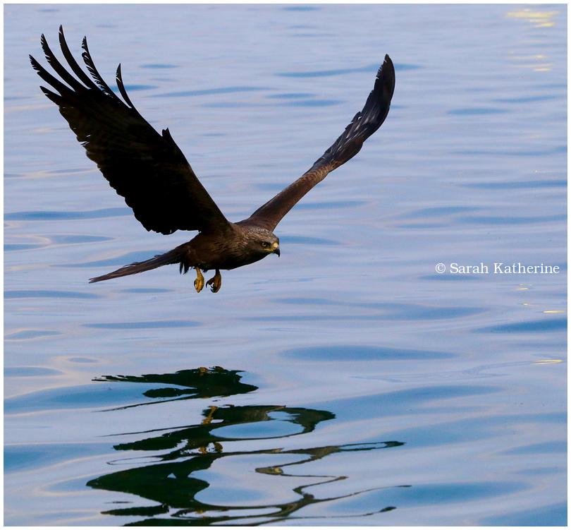 black kite, lake