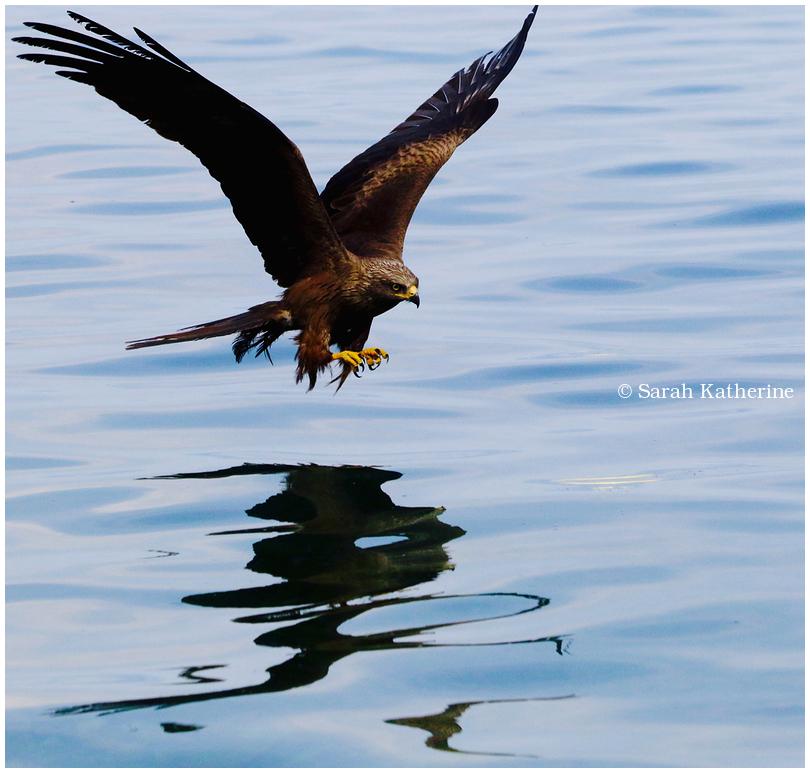 black, kite, lake