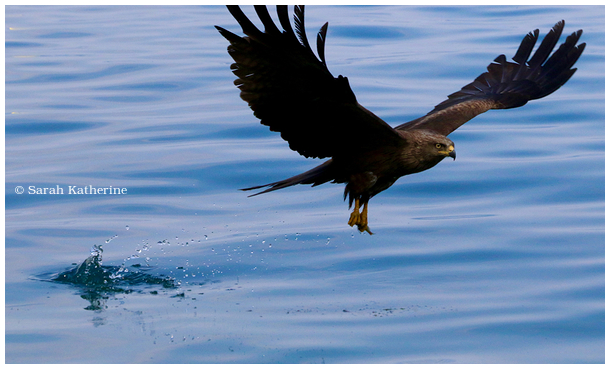 black kite, lake, fish