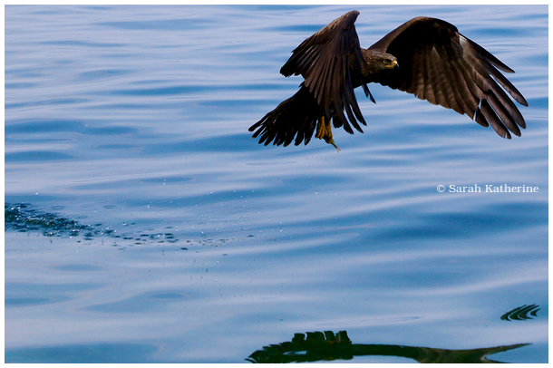 black, kite, lake, fish