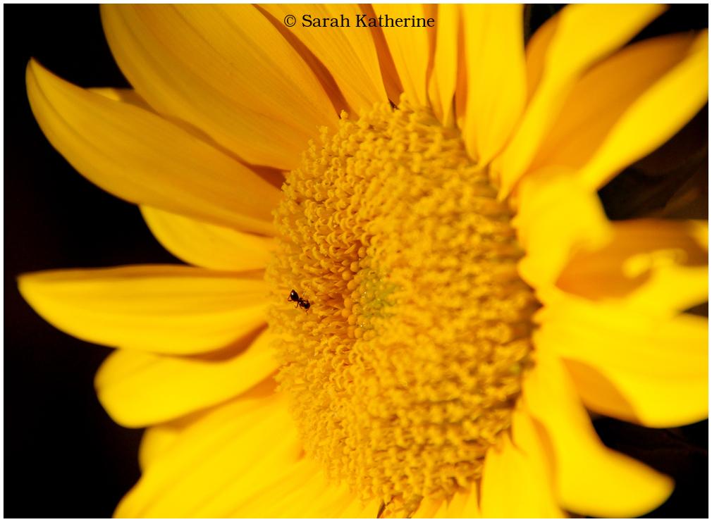 ant, sunflower